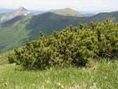 Planinski bor
