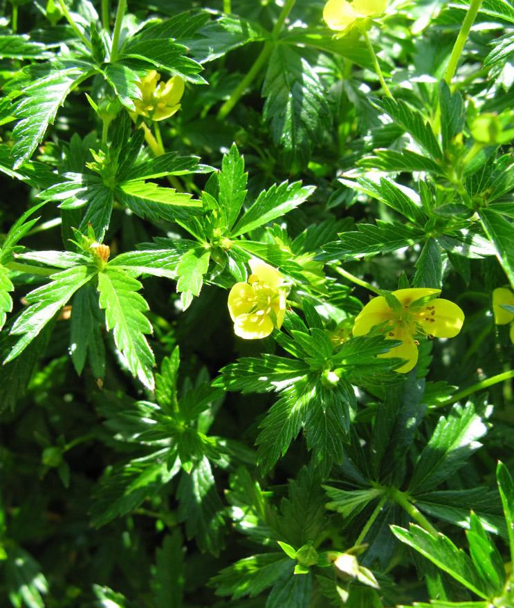 Herbatika-lekovito bilje  - Page 2 111-petoprsta